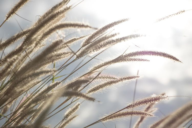 Agriculture Beauty In Nature Cereal Plant Close-up Day Fragility Freshness Grass Growth Nature No People Outdoors Plant Rural Scene Sky Timothy Grass Wheat