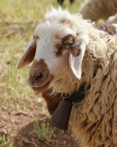 She looks kind. Sheep 🐑 Nature Nature_shooters Naturallandscape Naturelovers Landscape Landscapelovers Travel Traveling Mustseeiran Mustseeiran_insta Esfandabad Yazd Farm