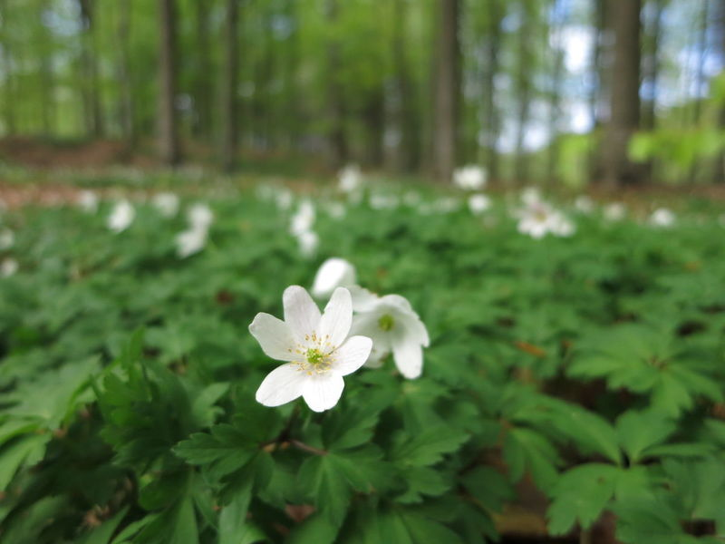 Forest Trekking Nature Reserve Wood Anemone