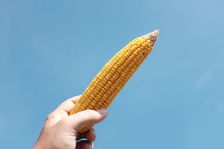 Cropped image of hand holding sweetcorn against blue sky