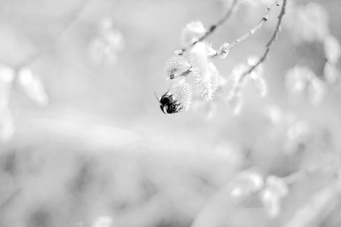 Beauty In Nature Bee Black & White Black And White Blackandwhite Focus On Foreground Insect Macro Nature No People Scenics Selective Focus Softness White
