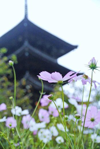 備中国分寺 Cosmos Flower Temple Okayama