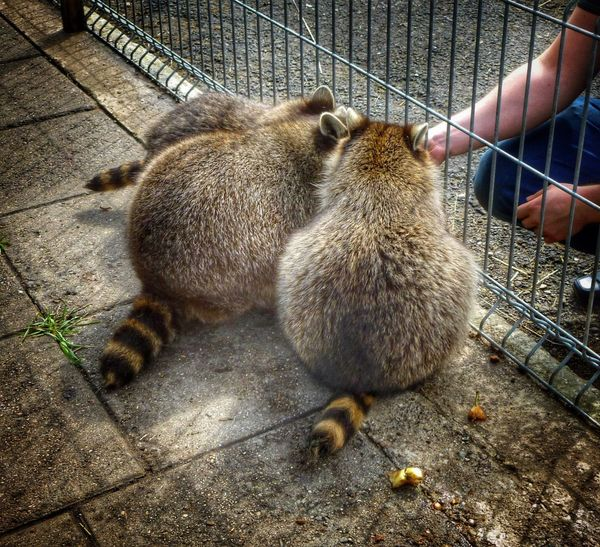 Animal Themes Mammal Racoon Racoons Human Hand Animals Three Three Animals Human Body Part Outdoors Day One Person Feeding  Feeding Animals Zoo Zoology ZooLife Petting Funny Tails Furry Furry Friends Funny Anımals Zoo Animals  Backs