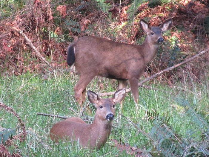 Columbian Blacktail Deer Deer Does Olympic Olympic Peninsula Wildlife Salt Creek, WA Washington State Animal Family Animal Wildlife Animals In The Wild Blacktail Blacktail Deer Doe Mammal Mule Deer