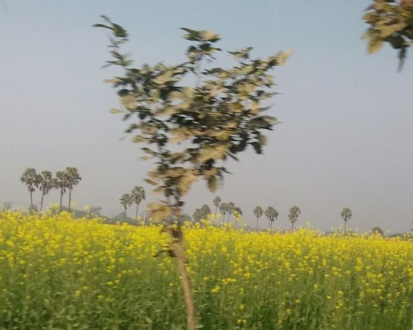 Mustard Fields Flower Yellow Plant Nature Agriculture Crop  No People