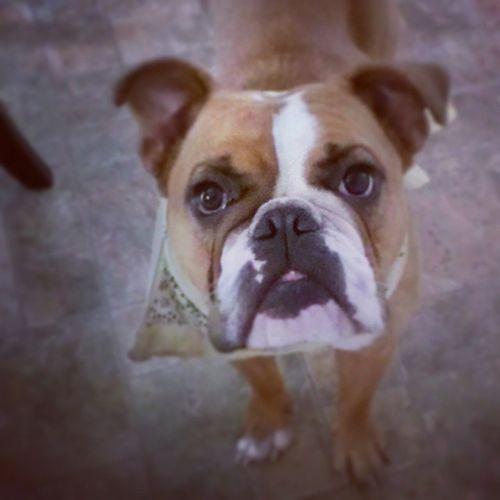 Ham says GOOD MORNING AMERICA! :) America Oldenglishbulldog Bulldogs Animals adorable furryfriend aww instadog instabulldog petsofinstagram pets 3legs