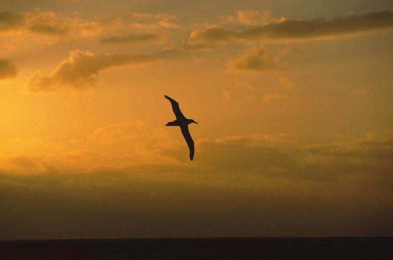 Silhouette of bird flying over sea against sunset sky