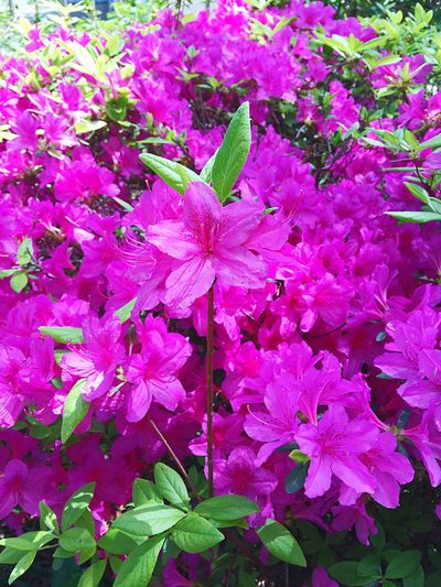 파릇파릇 봄 Green Spring Nature Beauty In Nature Pink Color Flower Close-up Rhododendron Mucronulatum Korean Rosebay Freshness Blooming