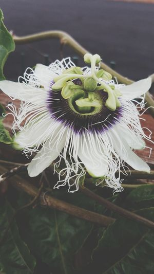 Flower Flower Nature Beauty In Nature Close-up No People Flower Head Passion Flower Freshness Outdoors Growth Day Plant Floral Tropical Tropical Flowers Tropical Plant