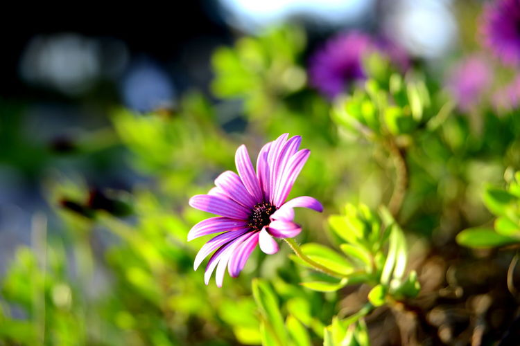 Beauty In Nature Close-up Day Flower Flower Head Flowering Plant Focus On Foreground Fragility Freshness Growth Inflorescence Nature No People Osteospermum Outdoors Petal Pink Color Plant Pollen Purple Selective Focus Vulnerability