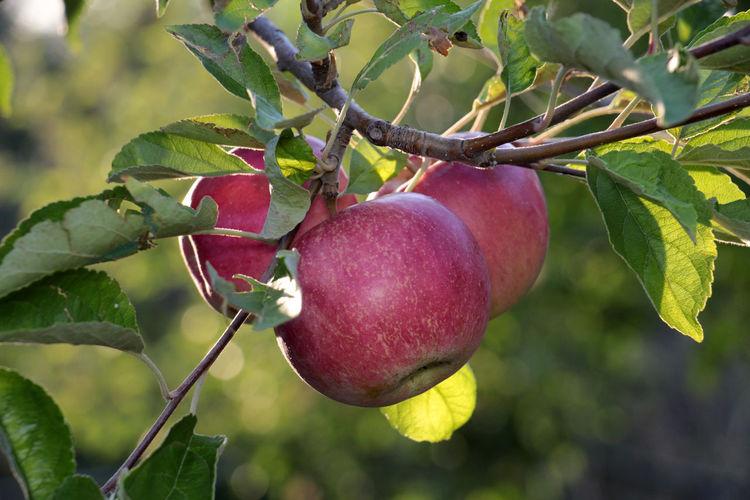 ripe apples damaged by hail Agriculture Apple Apple Orchard Hail Storm Hailstorm Heavy Rain Weather Apple Tree Damaged Food Harvest Leaf Loss Ripe Apple Ripe Apples Vitamin