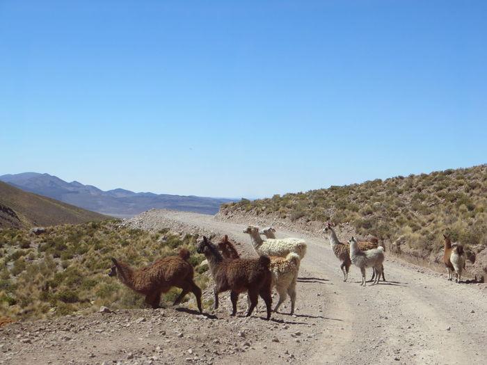 Llamas On Landscape Against Clear Blue Sky