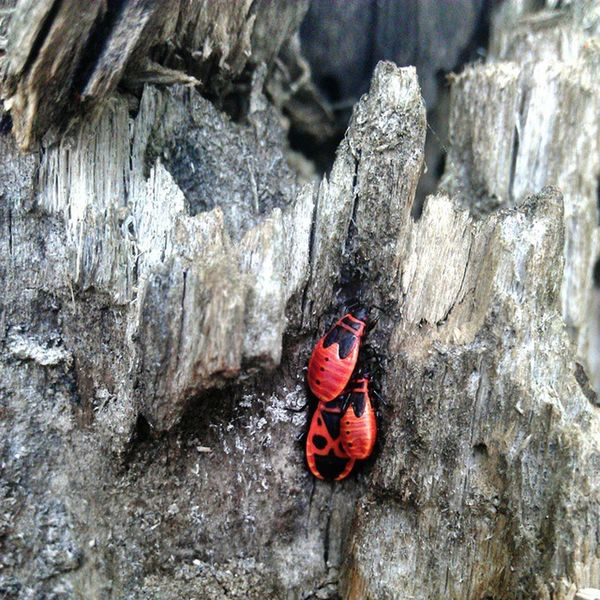 3 bugs Buggs Red