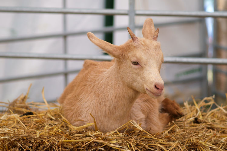 Close-Up Of Goat On Hay