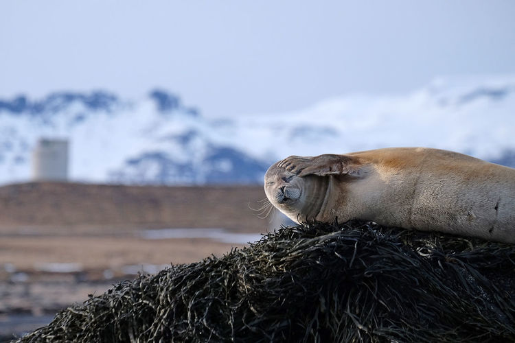 Sleepy seal in Iceland Animals In The Wild EyeEm Best Shots EyeEm Nature Lover Iceland Sealife Winter Animal Animal Photography Animal Themes Animal Wildlife Animals In The Wild Focus On Foreground Iceland Trip Iceland_collection Mountain Nature No People One Animal Outdoors Seal Seal - Animal Sleeping Sleepy Snow The Great Outdoors - 2018 EyeEm Awards