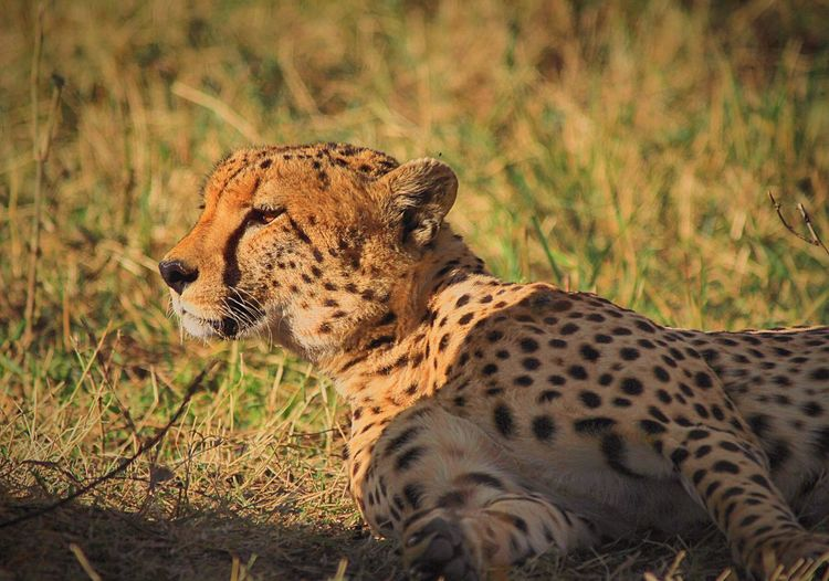 Close-up of cheetah lying on field