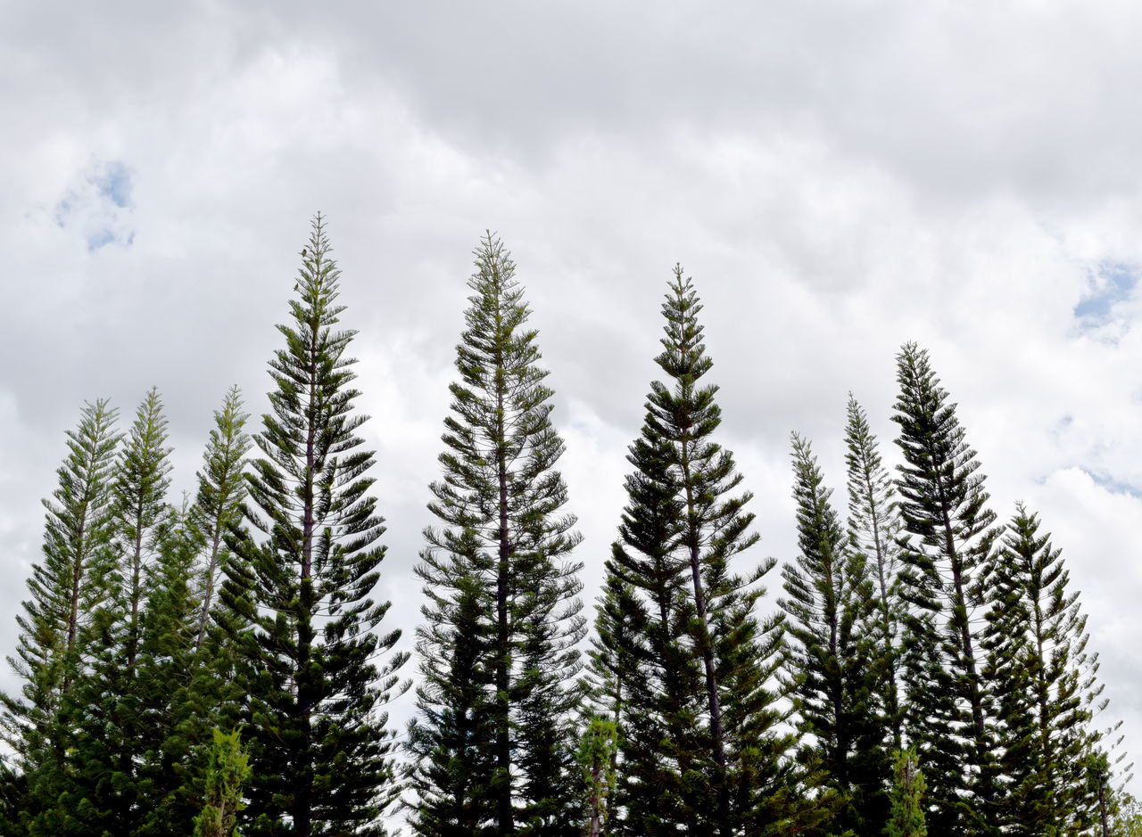 tree, nature, growth, no people, cloud - sky, sky, tranquility, beauty in nature, low angle view, day, forest, outdoors, spruce tree