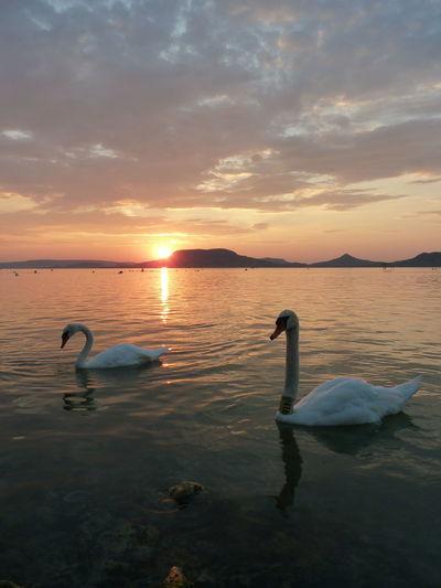 Swan Swimming In Lake Balaton At Sunset