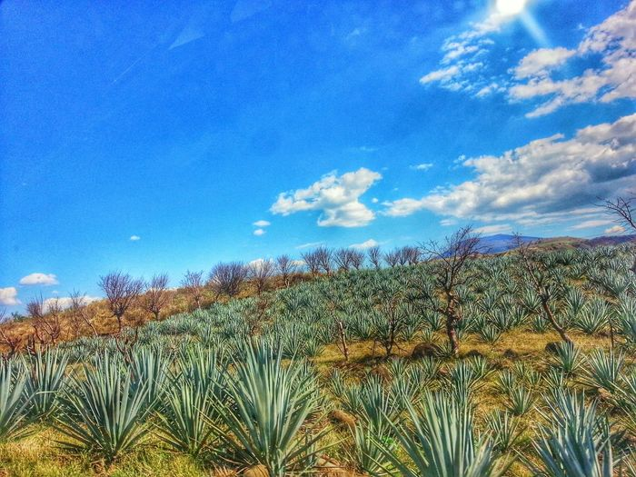 Agaves Tequilla Agave Fields Mexico De Mis Amores Rutadeltequila Tequila,jalisco Mexicolors