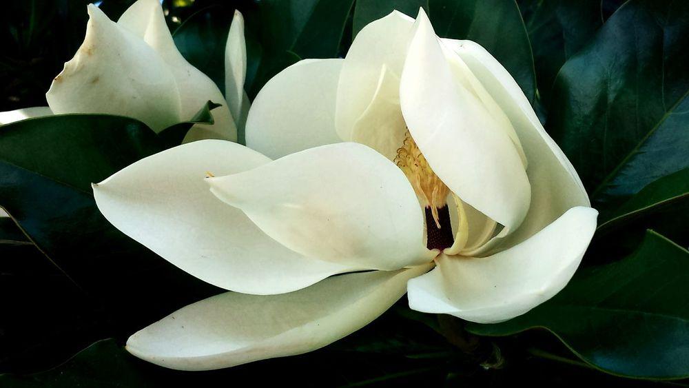 EyeEm Nature Lover Flower The Flowers Series My Flower Obsession Magnolia Flowers Questa foto è dedicata ad una donna dolcissima che è stata una delle prime persone conosciute su EyeEm: Delete. This picture is dedicated to my lovely friend Delete.