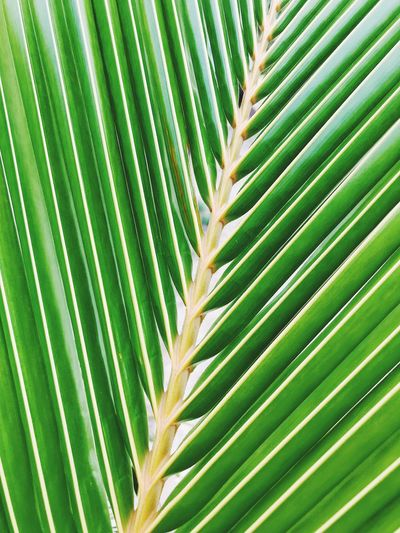 Backgrounds Beauty In Nature Botany Close-up Frond Full Frame Green Color Growth Leaf Leaves Natural Condition Natural Pattern Nature No People Outdoors Palm Leaf Palm Tree Pattern Plant Plant Part Tree Tropical Climate Tropical Tree