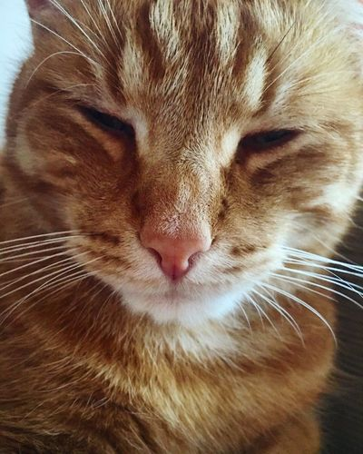 Cat Domestic Cat One Animal Whisker Pets Animal Head  Mammal Animal Hair Close-up Animal Themes Domestic Animals Whiskers No People Ginger Ginger Cat Kitty Kitty Cat Cat Lovers Squinting Cats Cats Of EyeEm