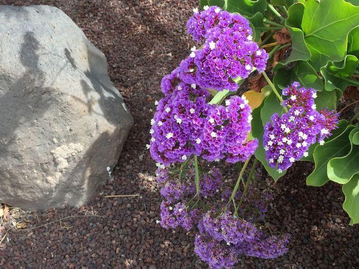 Flieder in lila