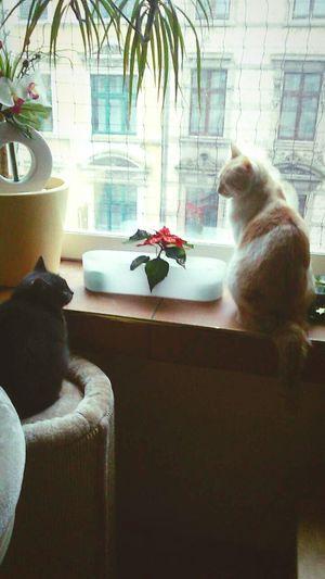 Germany Cats Love Window Noestoyenjapón