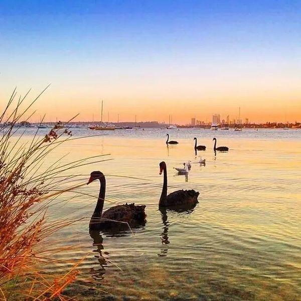 Perth sunset.Black Swan. Swan river. Sunset Bird Animals In The Wild Animal Wildlife Water Lake The Great Outdoors - 2018 EyeEm Awards