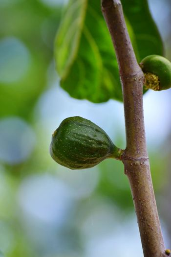 Ficus Tree Fig Figs Figs And Leaves Agriculture Fruit Tree Close-up Sky Green Color Plant