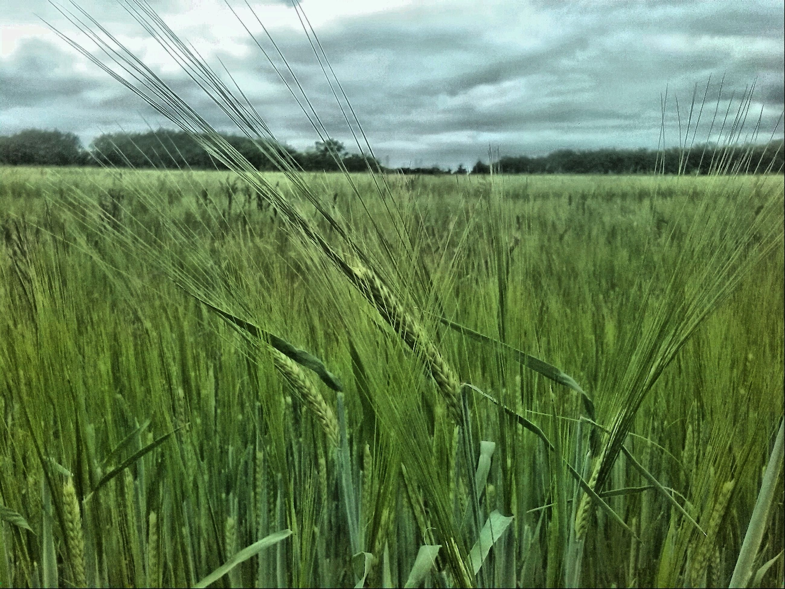 field, agriculture, rural scene, crop, growth, sky, farm, landscape, grass, tranquility, cereal plant, tranquil scene, nature, plant, beauty in nature, scenics, cultivated land, cloud - sky, wheat, cloud