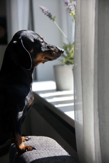 Das Dackeltier Animal Animal Themes Black Color Canine Close-up Day Dog Domestic Domestic Animals Focus On Foreground Indoors  Looking Looking Away Mammal No People One Animal Pets Profile View Side View Sitting Vertebrate Wiener Dog