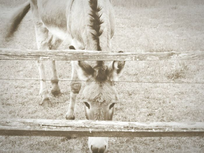 Donkey Nature Outdoors Jack Ass Animals