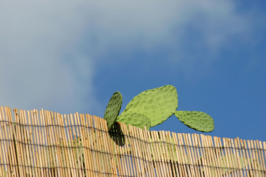 South Cactus Cloud Copy Space Green Mediterranean  Midday Plant Siesta Bamboo Bamboo Fence Clear Sky Cloud - Sky Day Daylight Green Color Leaf Low Angle View Nature No People Outdoors Prickly Pear Sky Summer Sunlight Warm Colours