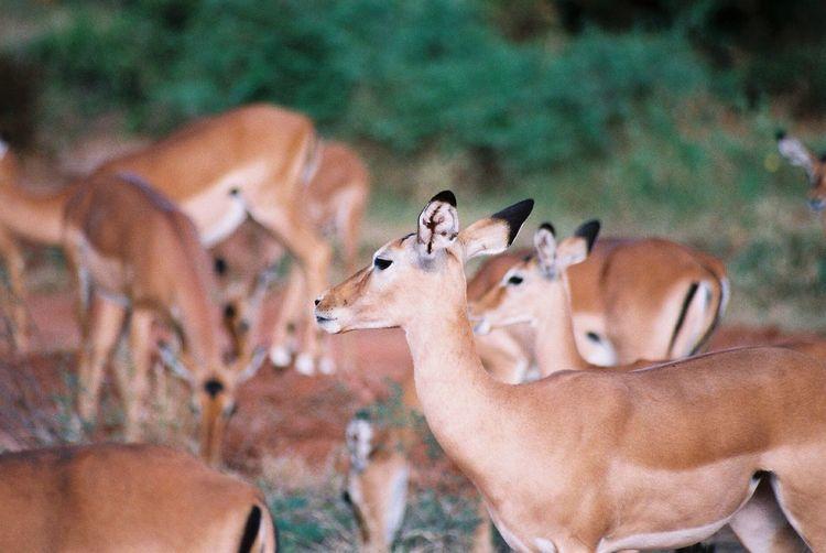 Impala on field