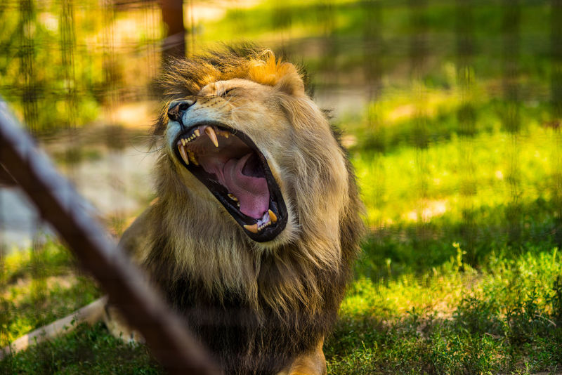 Animal Themes Animal Wildlife Animals In The Wild Close-up Day Grass Lion - Feline Mammal Mouth Open Nature No People One Animal Outdoors Roaring Yawning Pet Portraits