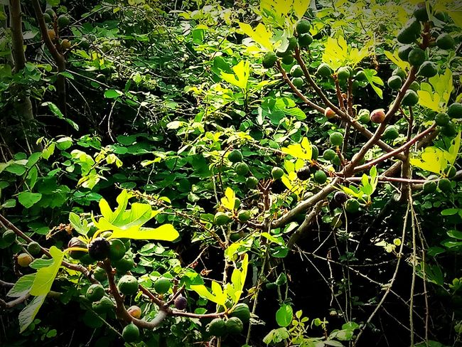 Fig tree jungle Growing Fruit Fig Tree Andros Island Springtime Trees Leaves Plant Life Botany Green