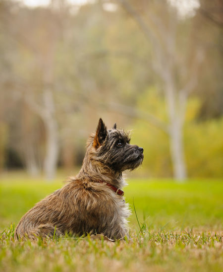 Cairn Terrier dog Field Animal Themes Cairn Cairn Terrier Day Dog Domestic Animals Mammal No People One Animal Outdoors Pets Photography Portrait Purebred Sitting Terrier
