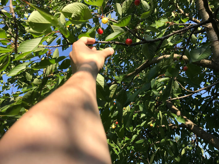 Personal perspective cherry picking Body Part Branch Cherry Picking Finger Food Food And Drink Fruit Green Color Growth Hand Healthy Eating Human Body Part Human Hand Human Limb Leaf Nature One Person Outdoors Personal Perspective Picking Plant Real People Ripe Tree