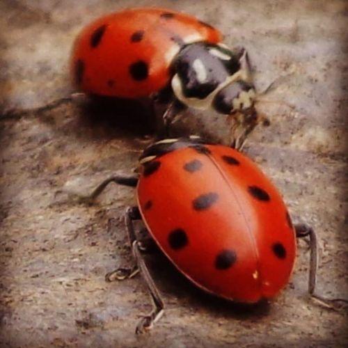 Closeup Ladybug LadiesPlease StopFightingOverMe MoreThanEnoughTogoAround Braiagasm XD