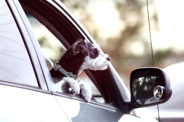 Dogs in cars Canonphotography Popular Photos Through My Window Houston Texas Photos On The Street Dogs In Cars One Animal Pets Mammal Car Animal Themes Domestic Animals No People Outdoors Dog Day