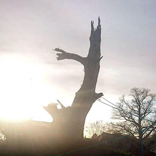 Goodbye old friend. Oak Oldtree Tree Skräckeken Sockerdrickaträd