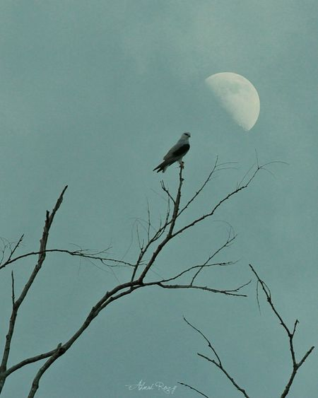 Me and moon Bird Animal Wildlife Animals In The Wild Nature Animal Themes One Animal No People Outdoors Beauty In Nature Sky Bird Of Prey Day Indonesian Photographers Collection Indonesiabagus Indonesia_photography Indonesia_allshots Flying