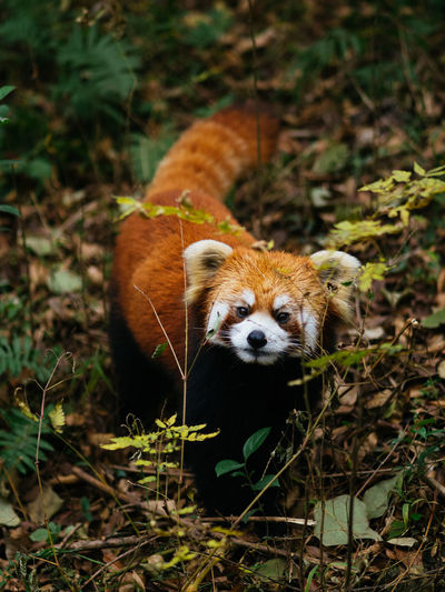 Animal Themes Animal Wildlife Animals In The Wild Chengdu China Cute Day Forest Grass Mammal Nature No People One Animal Outdoors Portrait Red Panda Red Panda