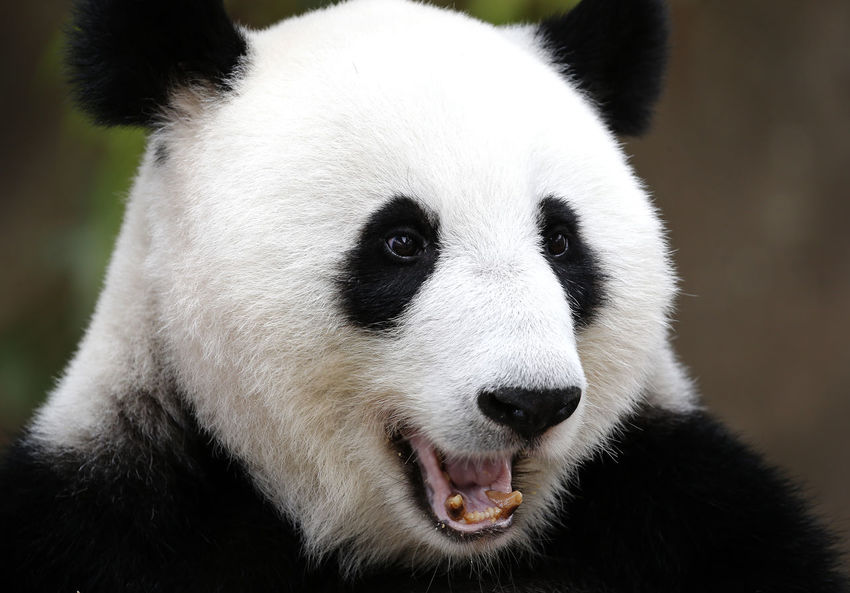 Animal Animal Body Part Animal Head  Animal Themes Animal Wildlife Animals In The Wild Bamboo - Plant Bear Close-up Day Endangered Species Focus On Foreground Giant Panda Herbivorous Mammal Mouth Open Nature No People One Animal Panda - Animal Snout Vertebrate White Color Zoo Zoology