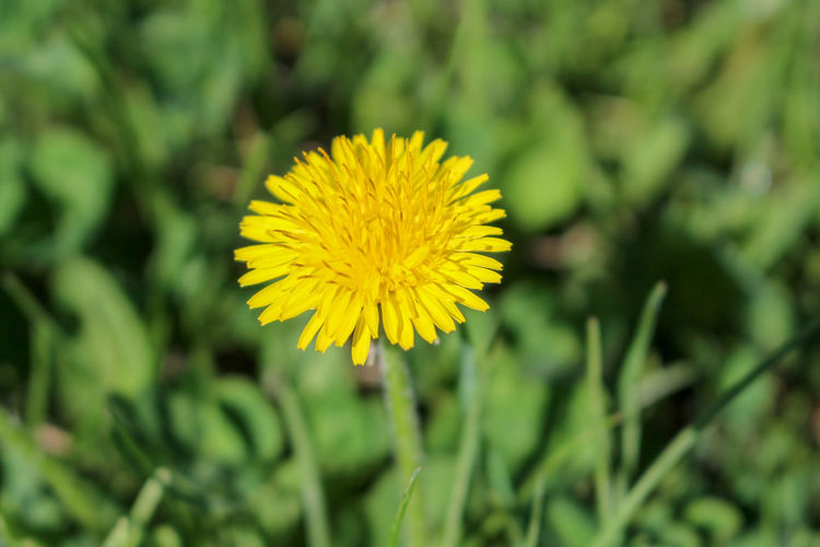 Dandelion in a field of grass Beauty In Nature Close-up Dandelion Day Field Flower Flower Head Flowering Plant Focus On Foreground Fragility Freshness Growth Inflorescence Nature No People Outdoors Petal Plant Pollen Selective Focus Springtime Springtime Blossoms Vulnerability  Yellow