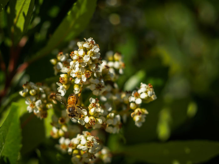 Bee on flowers Apple Blossom Beauty In Nature Bee Blossom Close-up Day Flower Flower Head Fragility Freshness Green Color Growth Honey Bee Insect Nature No People Outdoors Petal Selective Focus Springtime Tree