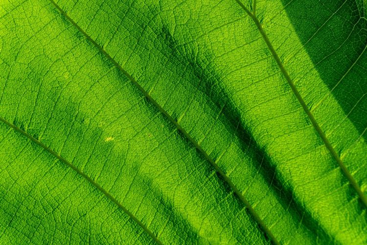 Macro shot. Closeup texture green leaf in nature. Green Color Full Frame Backgrounds Leaf Plant Part Close-up Leaf Vein Pattern No People Textured  Beauty In Nature Nature Natural Pattern Plant Growth Day Vulnerability  Macro Striped Leaves Leaved Tree Trunk Green Tree