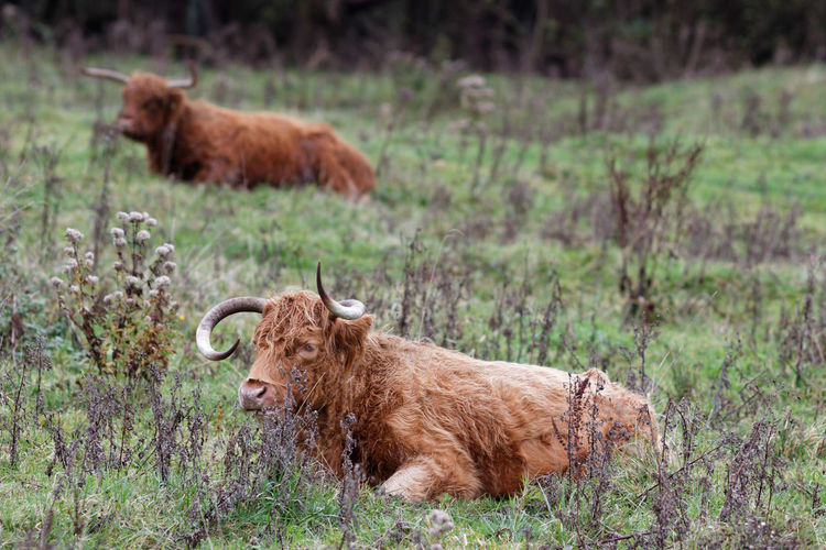 Highland Cattle On Request
