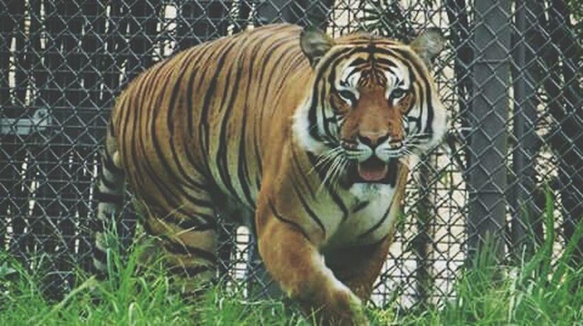 Tiger Love Tiger Jacksonville Zoo